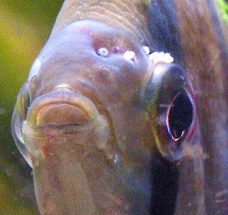 Первая рыба была такой на предпоследних стадиях: отсутствует чешуя и...